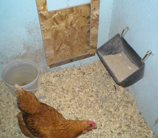 chicken-water-feed