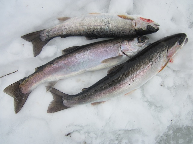 Mcconnell lake trout 1 for Ice fishing lake trout