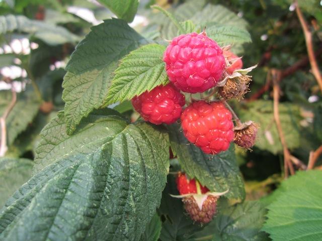 raspberry-upick