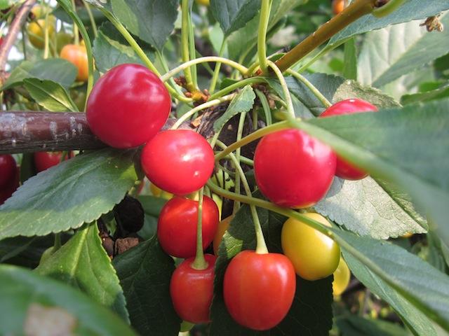 sour-cherry-upick