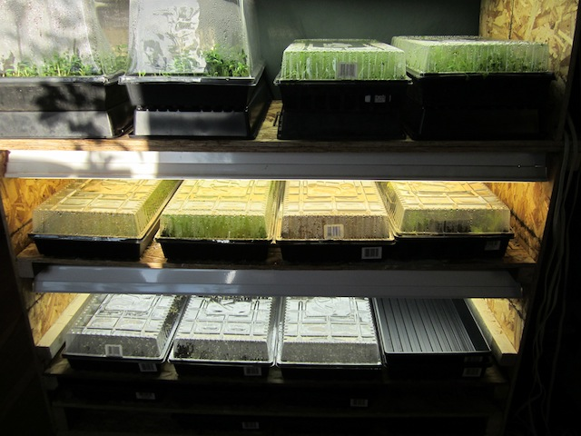 microgreens 4 Seasonal Foods: Microgreens and Indoor Gardening
