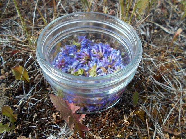 Put the Selfheal flowers into spring water and let sit in the warmth of the sun to infuse for 3-4 hours.